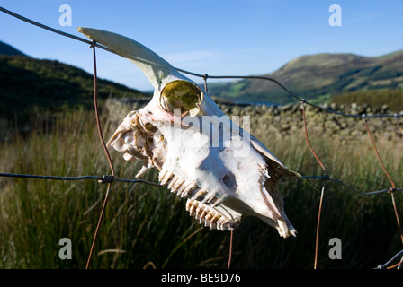 Skull of a sheep hanging on a wire fence - Stock Photo
