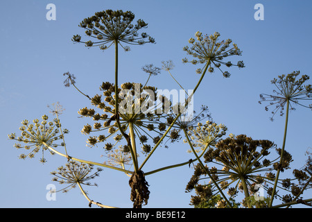 Heracleum mantegazzianum Giant Hogweed plant seed heads - Stock Photo