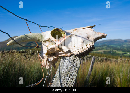 Skull of a sheep sitting on a wooden fence post. - Stock Photo