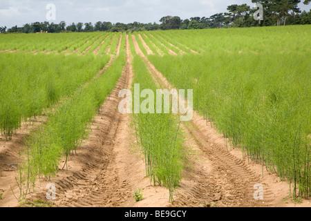 Asparagus plants in field Sutton Suffolk England - Stock Photo