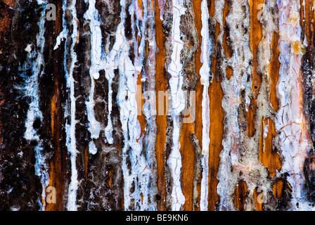 fijnspar; norway spruce; - Stock Photo
