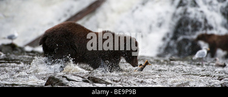 'A brown bear catches a pink salmon on Pavlov Creek in Alaska.' - Stock Photo