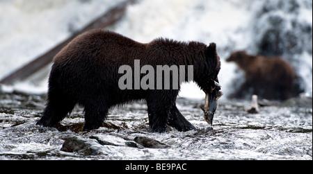 'An Alaskan Coastal brown bear catches a pink salmon on Pavlov Creek in Alaska.' - Stock Photo