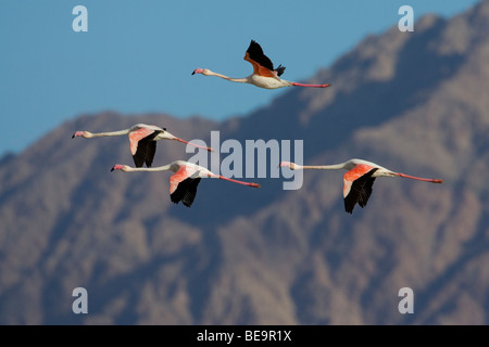 Een vlucht Europese Flamingo's in de lucht met een rotsformatie in de achtergrond.A flight of four (4) Flamingoes - Stock Photo
