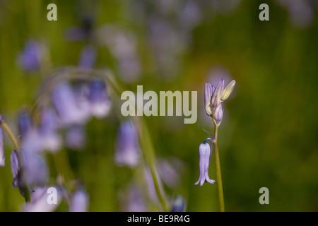 Bluebells in Sussex woodland