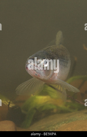 vertical photo of an European smelt with its mouth open so its teeth are visible - Stock Photo