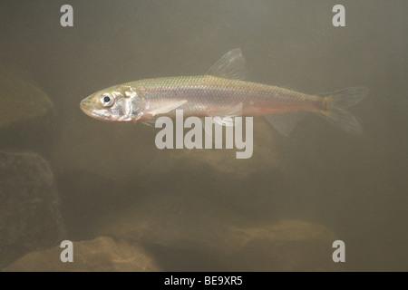 photo of a European smelt underwater - Stock Photo