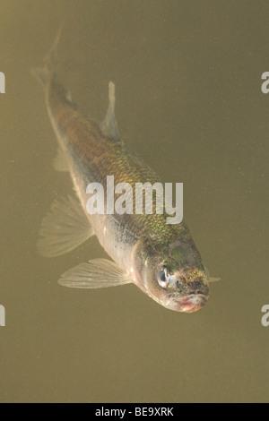 Vertikale foto van een anadrome spiering zwemmend in geelgrijs water; vertical photo of an anadromous European Smelt - Stock Photo