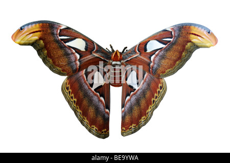 Giant Atlas moth, one of the largest in the world, isolated over white background - Stock Photo