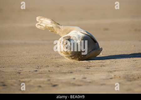 Grey Seal pup (Halichoerus grypus) rolling on sand at Donna Nook,  Lincolnshire, England. - Stock Photo