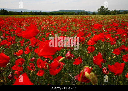 Beautiful, blooming poppies growing in remote field in summer - Stock Photo