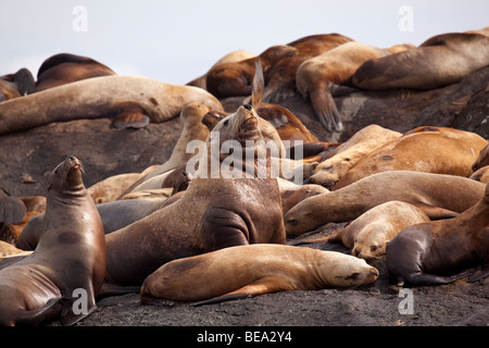 Colony of stellar sea lions in the Pacific Northwest. - Stock Photo