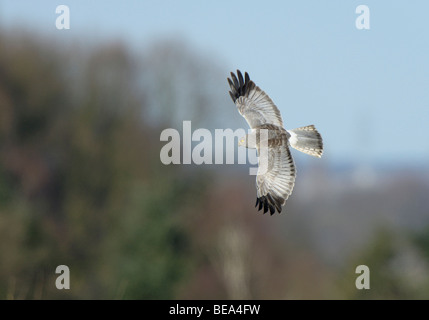 vliegbeeld man Blauwe Kiekendief, bovenaanzicht; male Hen Harrier in flight, upwing view - Stock Photo