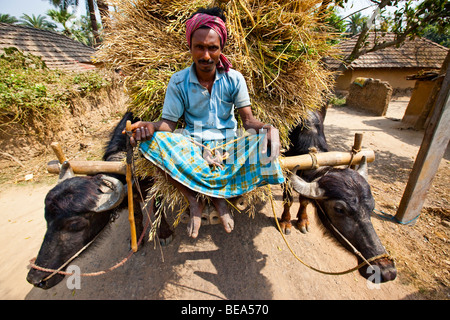 Indian farmer riding ox cart full of grain in Pandua in rural Bengal State India - Stock Photo