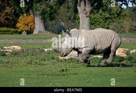 Southern White Rhinoceros (ceratotherium simum simum) - Stock Photo