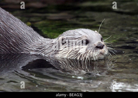 Oriental Small-clawed Otter Aonyx cinerea Swimming Taken At Martin Mere WWT, Lancashire UK - Stock Photo
