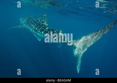 Whale shark swimming, Bay of Tadjoura, Gulf of Aden - Stock Photo
