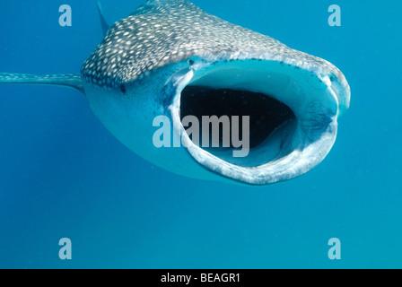 Whale shark swimming and feeding, Bay of Tadjoura, Gulf of Aden - Stock Photo