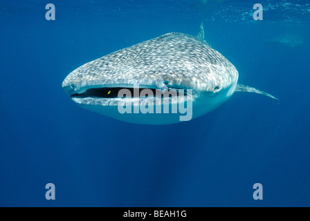 Whale shark swimming in the Bay of Tadjoura, Gulf of Aden - Stock Photo