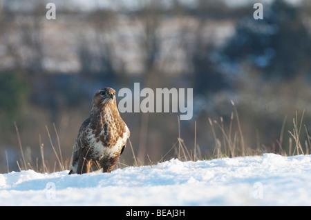 Common Buzzard, Buteo buteo, standing on snow, North Downs, Kent, Wild Bird - Stock Photo