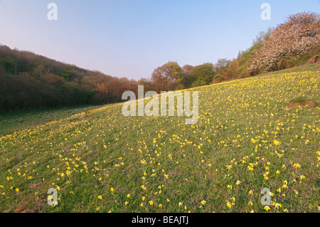 Cowslip, Primula veris, North Downs, Kent, England - Stock Photo