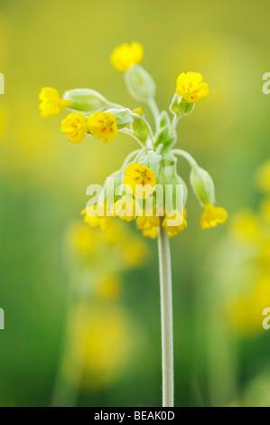 Cowslip, Primula veris, North Downs, Kent, England - Stock Photo