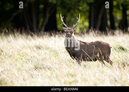 Sika deer Stag (Cervus nippon) - Stock Photo