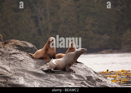 Stellar sea lions sitting on a rock in the Pacific Northwest - Stock Photo
