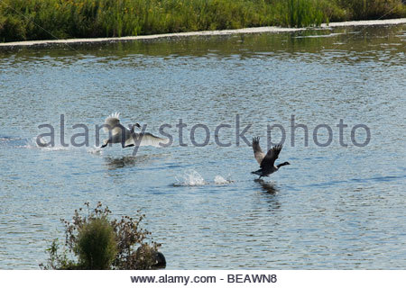 Trumpeter Swan reintroduced in Ontario attacking Canada Geese in Rouge Park an urban wilderness in Toronto Ontario - Stock Photo