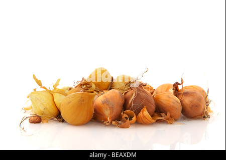 Many Iris flower bulbs isolated over white - Stock Photo