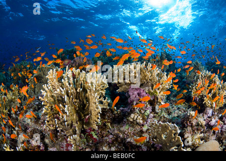 Sunrise on the fire coral reef with shoal of anthias. - Stock Photo