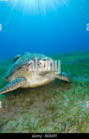 Green Sea Turtle, chelonia mydas, Abu Dabbab, Marsa Alam, Red Sea, Egypt - Stock Photo