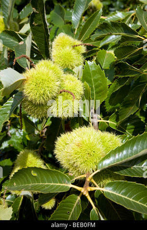 Castanea sativa, sweet chestnut, tree with nuts - Stock Photo