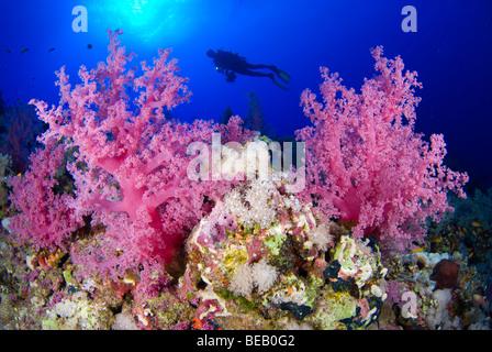 Coral reef scene, Marsa Alam, Red Sea - Stock Photo