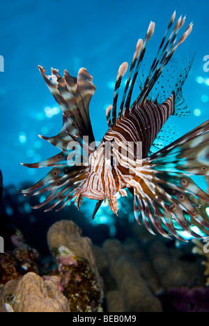 Common lionfish, Marsa Alam, Red Sea - Stock Photo