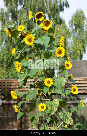Multi-headed sunflower (32 flower heads) on a single stalk in a domestic garden at Kingsholm, Gloucestershire - Stock Photo