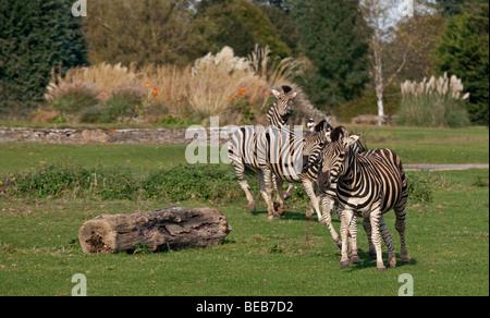 Chapman's Zebras (equus quagga chapmani)