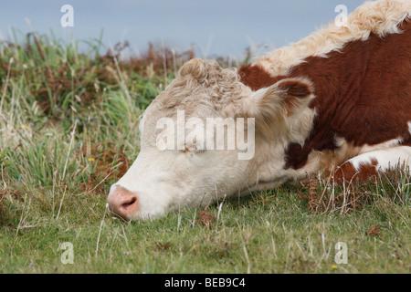 a sleepy hereford cow - Stock Photo