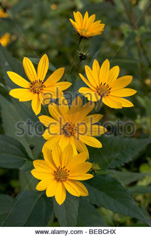 Smooth Oxeye or Heliopsis helianthoides in Rouge Park an urban wilderness in Toronto Ontario Canada - Stock Photo