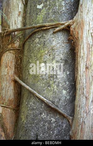 Northern rata strangling host tree, Truman Track, near Punakaiki, Paparoa National Park, West Coast, South Island, - Stock Photo