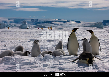 Adult Emperor Penguins with group of baby birds eat snow and watch tourist depart in distance by glacier, Snow Hill - Stock Photo
