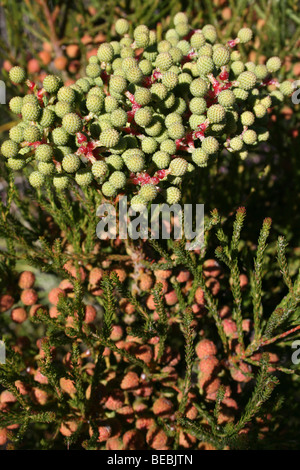 Seed Heads On South African Fynbos Vegetation - Stock Photo