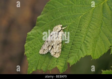 Grey Dagger, Acronicta psi - Stock Photo