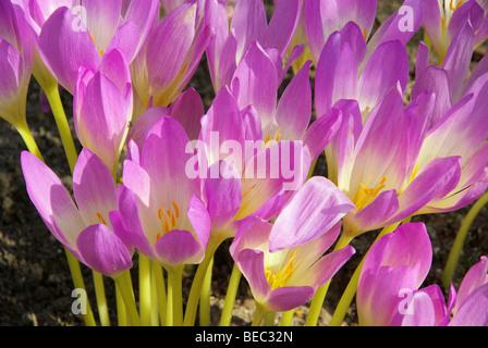 Herbstzeitlose - autumn crocus 03 - Stock Photo