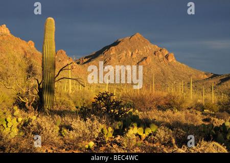 Saguaro Cactus (Carnegiea gigantea) stand in Tucson Mountain Park in the Sonoran Desert in Tucson, Arizona, USA. - Stock Photo