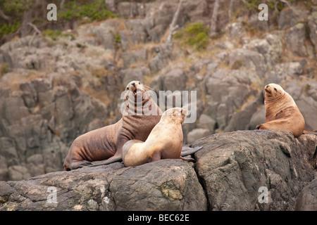 Stellar sea lions basking on a rock - Stock Photo
