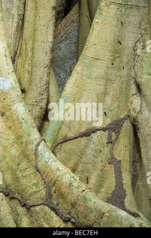 Fig tree (Ficus sp.) trunk with termite channels Napo Wildlife Centre Yasuni National Park Amazonian Rainforest - Stock Photo