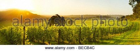 Sunrise over Denbies Vineyard & Wine Estate, near Dorking, Surrey, England - Stock Photo