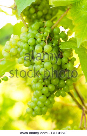 Bunch of white grapes on vine, Denbies Vineyard & Wine Estate, Surrey, England. - Stock Photo