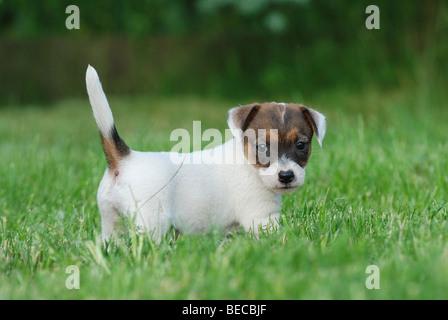 Jack Russel Terrier puppy  portrait in the garden - Stock Photo